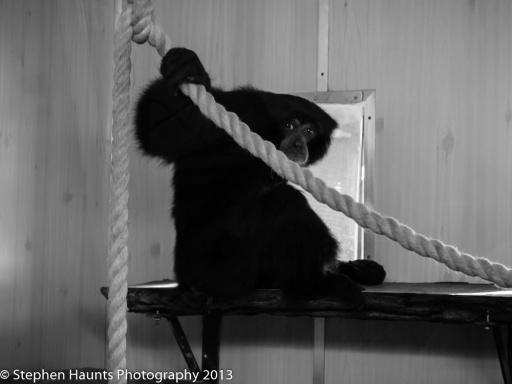Chimpanzee Shot Through Glass  (Lumix 45-150mm shot at 150mm f/4 1/100sec  ISO 1600)