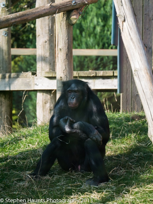 Chimpanzee (Lumix 45-150mm shot at 150mm f/5.6 1/320 sec ISO 200)